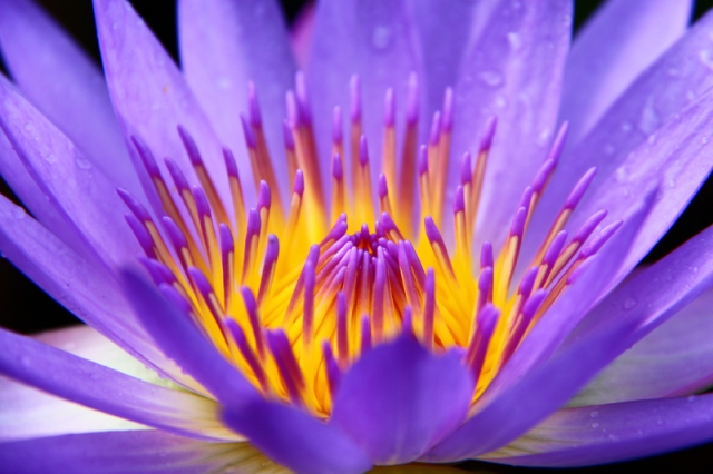 Lotus Blossoming